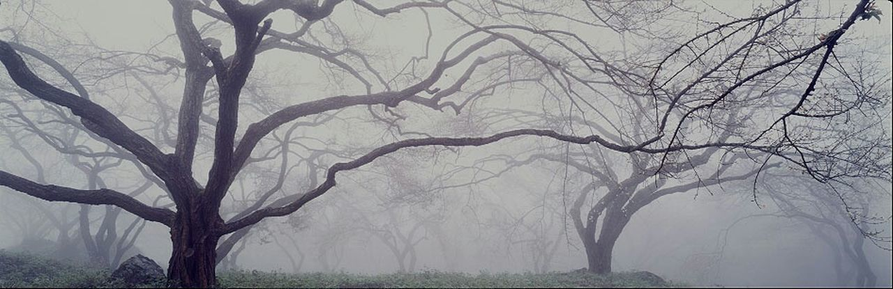 Plum Tree Fog