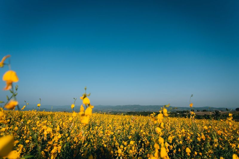 Yellow flowering plants on field against clear blue sky