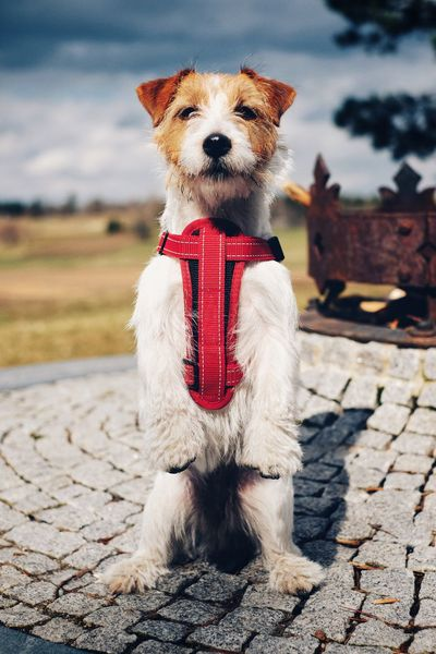 Jack Russell Terrier Staring At The Camera . Jrt Jackrussellterrier Jack Russell Vivid Colours  Dog Dog Outside Sitting Dog Cute Puppy