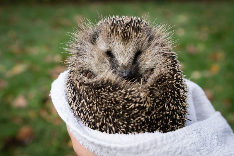 High angle view of hand holding young hedgehog