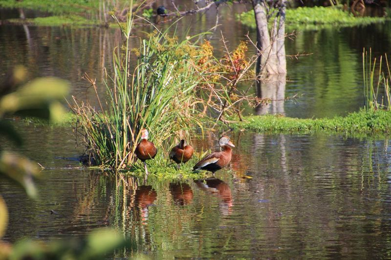 Animal Themes Water reflections Nature Day Outdoors Water Grass Trees Birds Ducks No People