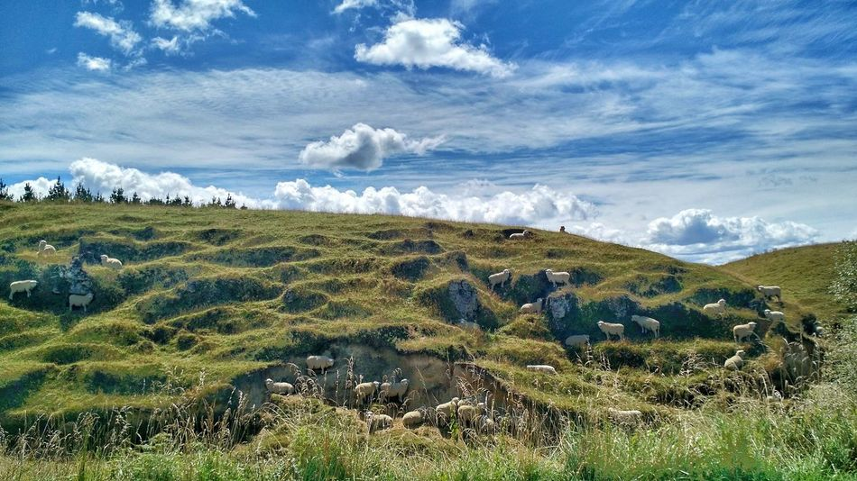 Sheep Shelter in the Shade on a Hot Sunny Day in Newzealand Scenics Cloud - Sky Tranquil Scene Rural Scene Field Farm