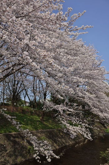 桜 サクラ Cherry Blossoms Nature Photography Nature Outdoors Springtime No People Beauty In Nature Blossom Flower Cherry Blossom