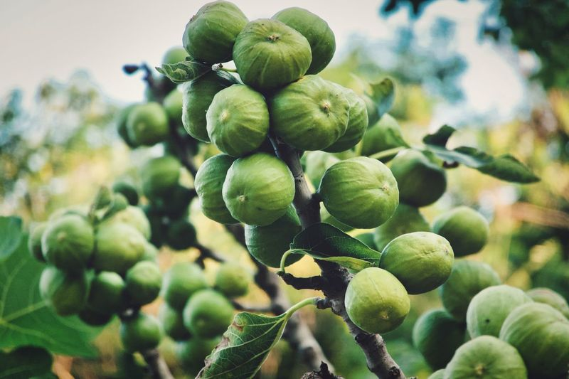 Close-up of fig fruits growing on tree