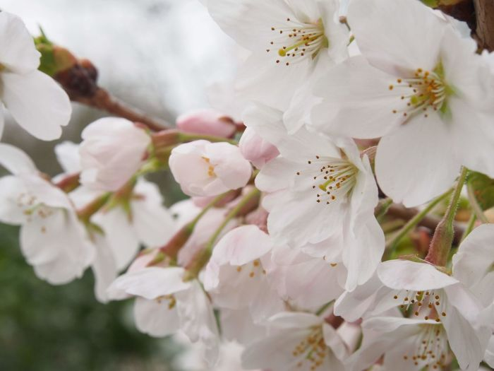 Cherry Blossom Cherry Tree Blossom In Bloom Pollen Pale Pink