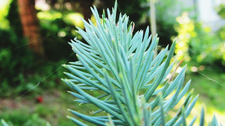 Pine Macro
