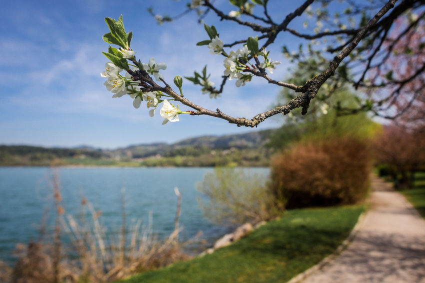 Spring forever! Beauty In Nature Branch Day Flower Flowering Plant Focus On Foreground Footpath Growth Lake Nature No People Outdoors Plant Scenics - Nature Sky Tranquil Scene Tranquility Tree Water