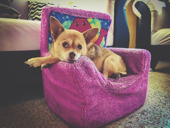 Chance Encounters Chichuahua Cute Cute Pets Dog Relaxing Check This Out This Week On Eyeem Pet Portraits