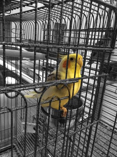 Cage Animal Themes Yellow Birdcage Animals In Captivity One Animal Bird Parrot Budgerigar No People Metal Trapped Pets Close-up Nature Day Adapted To The City EyeEmNewHere