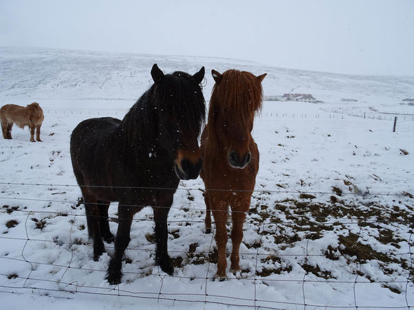Innsbruck Islandpferd  Pony Animal Animal Themes Animal Wildlife Beauty In Nature Claudia Ioan Cold Temperature Covering Domestic Domestic Animals Field Group Of Animals Herbivorous Horse Iceland_collection Land Livestock Mammal Mountain No People Outdoors Pets Snow Snowcapped Mountain Vertebrate White Color Winter