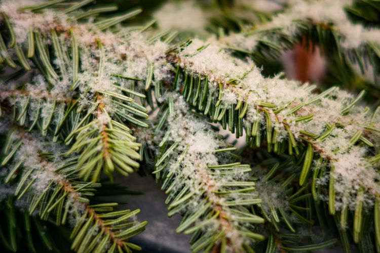 Close-up of snow covered fern leaves