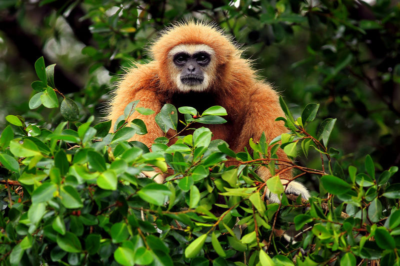 Portrait of gibbon sitting by trees