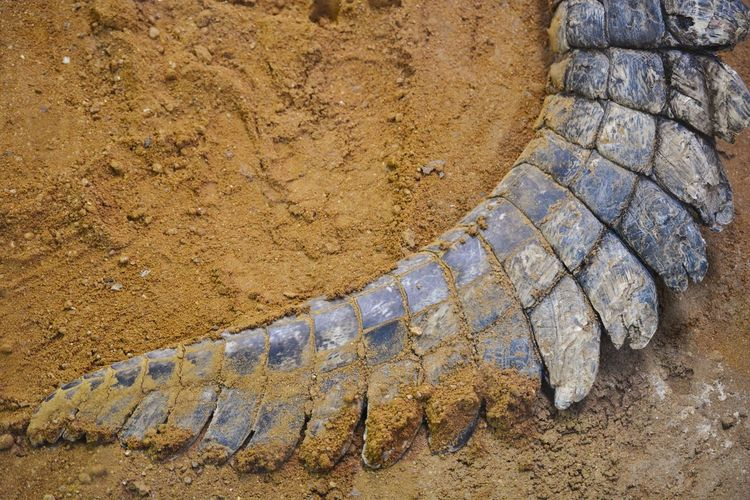 The tail of a crocodile