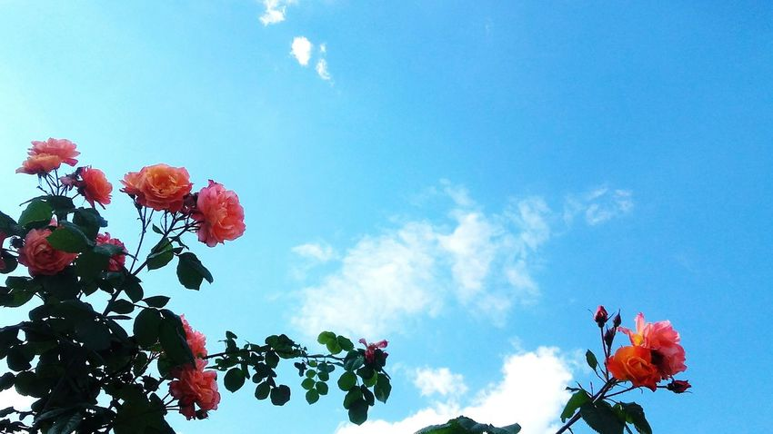 Sky Blue Sky Blue Serbian Beauty Serbia Serbian_beauties Serbianature Sky And Clouds Nature Belgrade Colors Flower Roses Pinkrose Tasmajdan