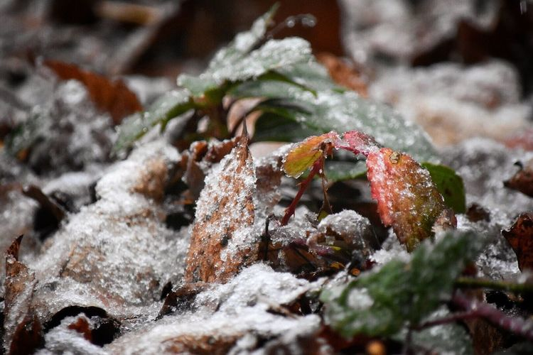 First snow ❄️ Nature Close-up Leaf No People Growth Outdoors Beauty In Nature Day Fragility Weather Winter Cold Temperature Snow Snow Flakes First Snow Snow ❄ Oregon Snowing Beauty In Nature Nature Plant Wintertime Christmas Time Always Be Cozy