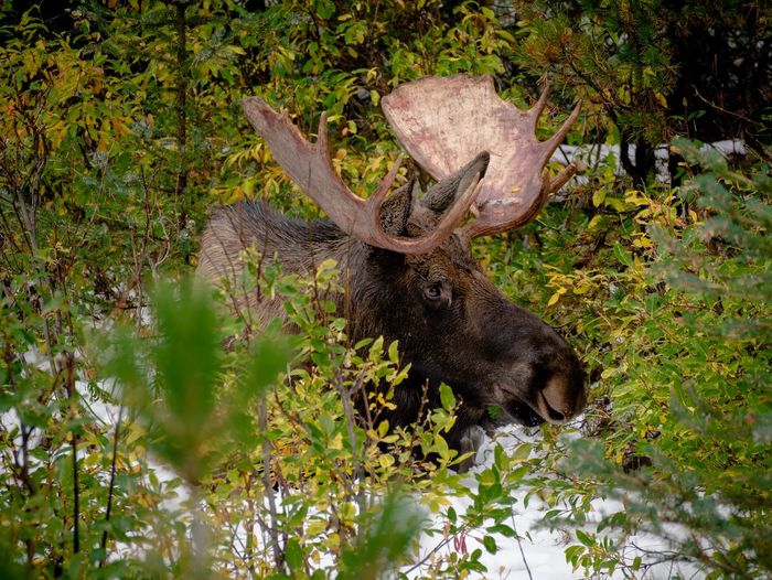 Spotted a Moose