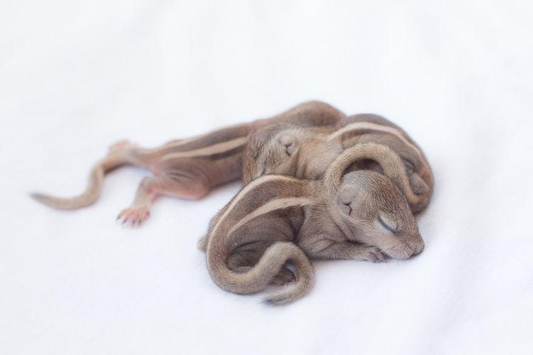 Close-up of newborn chipmunk sleeping against white background