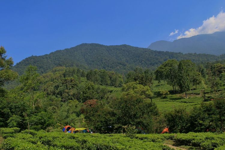 Gede pangrango mountain Tree Mountain Nature Mountain Range Tea Crop Forest Agriculture Landscape Sky Outdoors No People Beauty In Nature Scenics Day Grass Freshness Tea Tree Tea Beauty In Nature Nature Green Color Green Nature Bluesky & Cloudes Camping Bluesky Lost In The Landscape