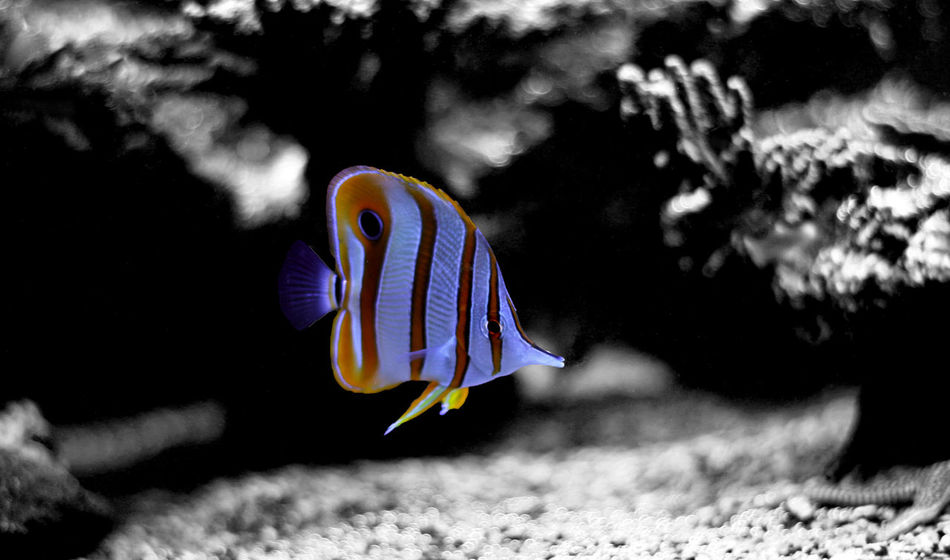 Animal Themes Beauty In Nature Close-up Day Multi Colored Nature No People One Animal Outdoors Sea Life UnderSea Underwater Aquarium Fish Copperband Butterflyfish Copper-banded Butterflyfish Butterflyfish Underwater Photography Close Up Aquarium Photography Aquarium Saltwater Aquarium Underwater Life Aquarium Life Aquarium Tank Underwater World