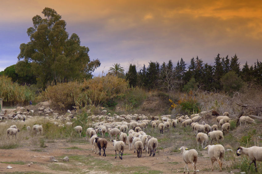 Animal Themes Beauty In Nature Cloud - Sky Day Domestic Animals Flock Of Sheep Flock Of Sheeps Grazing Landscape Large Group Of Animals Livestock Mammal Nature No People Outdoors Scenics Sheep Sky Tree