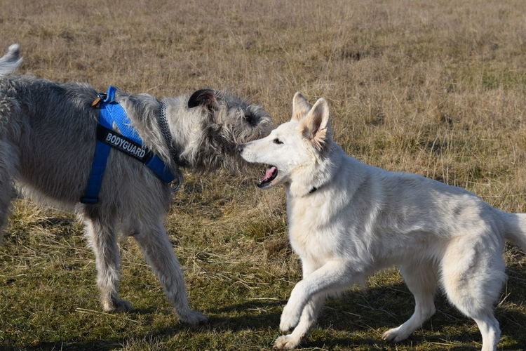 Animal Themes Dog Pets Outdoors White ShepherdDog Play How Is The Weather Today? February 2017 Winter 2017 Cearnaigh Irish Wolfhound Dogslife Dogs Of EyeEm Take A Walk In The Park Dogwalk Sunlight Valentines Day