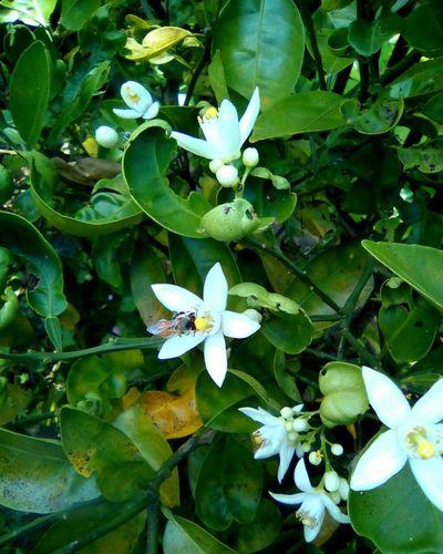 みかんの花 May 2016 Mikan みかん みかんの花 蜂 Bee