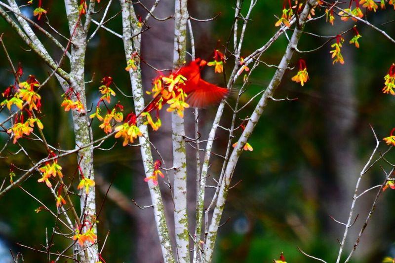 Cardinal in flight! Cardinal Ncnature Nature Photography Bird Photography Birds_collection EyeEmBirds