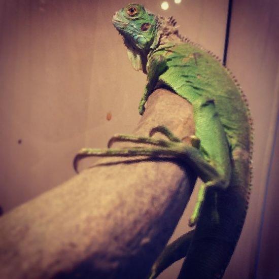 Nowy Pupilek Legwan Reptiles