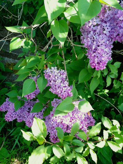 Sonnige Flieder Hecke In Sunlight By Gardens Leaf Purple Flower Head Lilac
