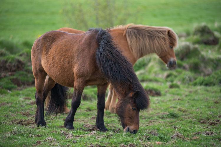 Pony grazing on grass