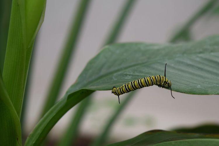 Caterpillar!❤👌😹 LONDON❤ Chenille Beauty In Nature Plant