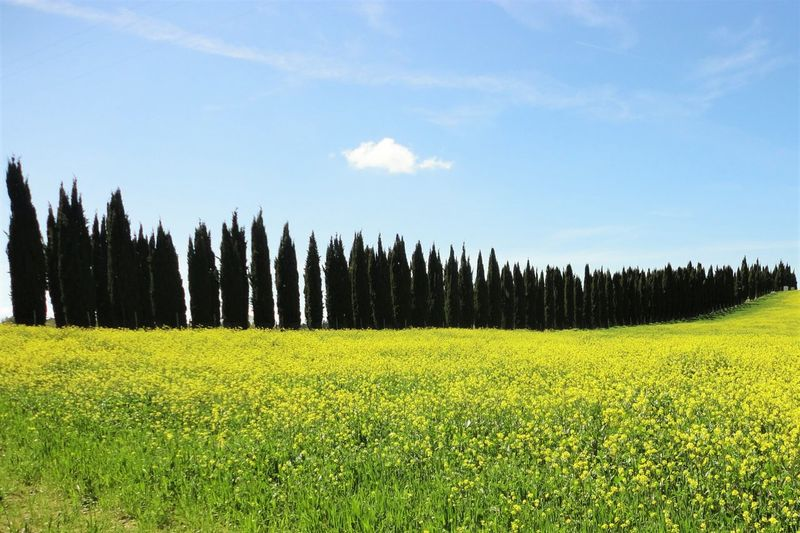 Agriculture Beauty In Nature Blue Crop  Cypress Day Farm Field Flower Grass Green Color Landscape Nature Plant Rural Scene Scenics Sky Toscana Tranquil Scene Treelined Tuscany Tuscany Countryside Yellow Yellow Flowers Color Palette Paint The Town Yellow My Best Travel Photo