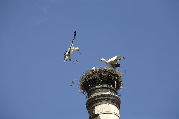 Mid-air Feeding  Animal Animal Themes Animal Wildlife Animals In The Wild Beauty In Nature Bildfolge Bird Blue Clear Sky Day Flight Flying Low Angle View Nature Nest No People Outdoors Photography Sky Stork Fauna Wild Animal Bird Nest Spread Wings