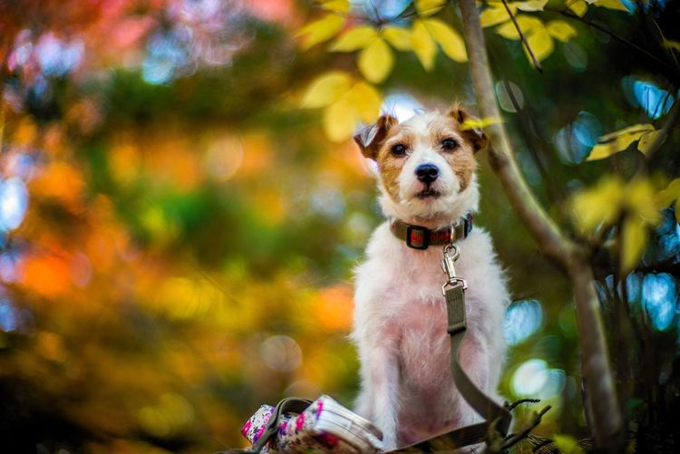 EyeEm Selects Dog Pets One Animal Domestic Animals Animal Themes Mammal Looking At Camera Portrait Outdoors Day Pet Collar Tree No People Nature Jackrussell Jackrussellterrier Kinoko Autumn Colors Fall Colors Bokeh Bokeh Photography Dof Depth Of Field Dog Portrait