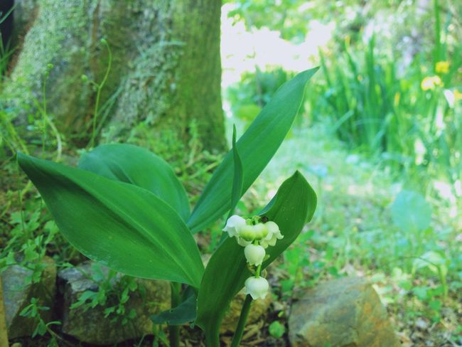 Growth Green Color Plant Nature Leaf No People Day Outdoors Close-up Beauty In Nature Fragility Freshness Flower Lily Of The Valley