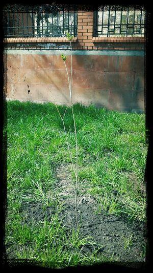 Посаженное мною дерево .... медленно растет (( Интересно, каким оно будет, когда закончу универ?