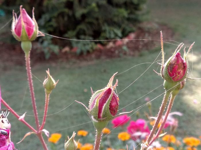 Web Jaal Connection Connected Rosé Bud New Life Spider Web Plant Life Beginnings EyeEmNewHere