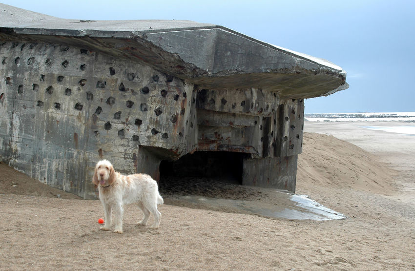 """Remains of the """"Atlantic Wall"""" at the beach in Denmark. These Bunkers remain at the beach after having been abandoned at the end of WW2 Bunker Nature WW2 Leftovers Abandoned Animal Themes Architecture Beach Building Exterior Built Structure Day Dog Domestic Animals Fortress Landscape No People One Animal Outdoors Pets Sand Sky Stronghold Ww2"""