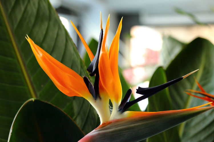 Beauty And Passion Beauty In Nature Bird Of Paradise - Plant Close-up Day Flower Flower Head Fragility Freshness Growth Nature No People Orange Color Petal Plant