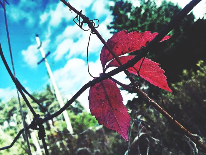 Red Leaf 🍂 Barbed Wire Blue Sky Clouds And Sky Autumn Leaf Autumn Colors Blue Sky Clouds & Sky Autumn🍁🍁🍁 Nature Fence Wire Fence Garden Naturelovers Beautiful Day From Ground Level Looking Up Artistic Expression Photography Life Outdoors Neighborhood