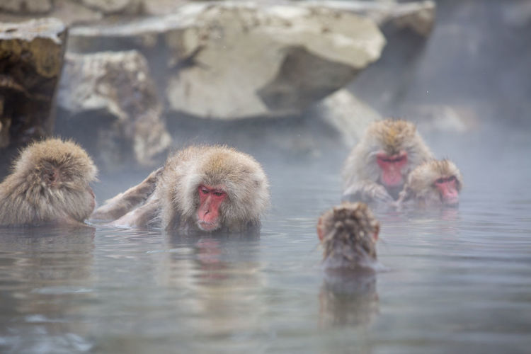 Japanese Macaques Relaxing In Hot Spring