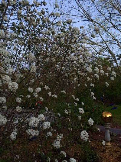 Twilight in the cottage garden. Viburnum Spring Flowers Cottage Cottage Garden  Nature Photography Springtime Nature Cottage Life Spring Outdoor Photography Tennessee ShotOniPhone6 Twilight White Flower Gazing Ball