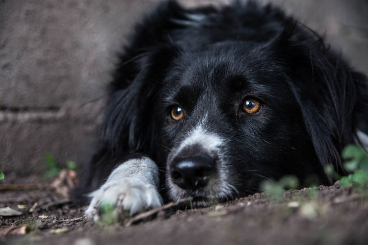 Dog Pets Domestic Animals Black Color Portrait Looking At Camera One Animal Lying Down Animal Themes No People Outdoors Close-up Mammal Day Juanmogor Border Collie Pet Portraits