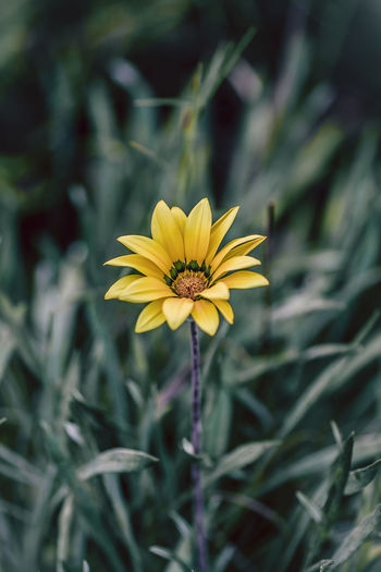 Flower Flowering Plant Plant Freshness Vulnerability  Fragility Growth Petal Flower Head Inflorescence Beauty In Nature Yellow Close-up Nature No People Day Focus On Foreground Pollen Outdoors Gazania