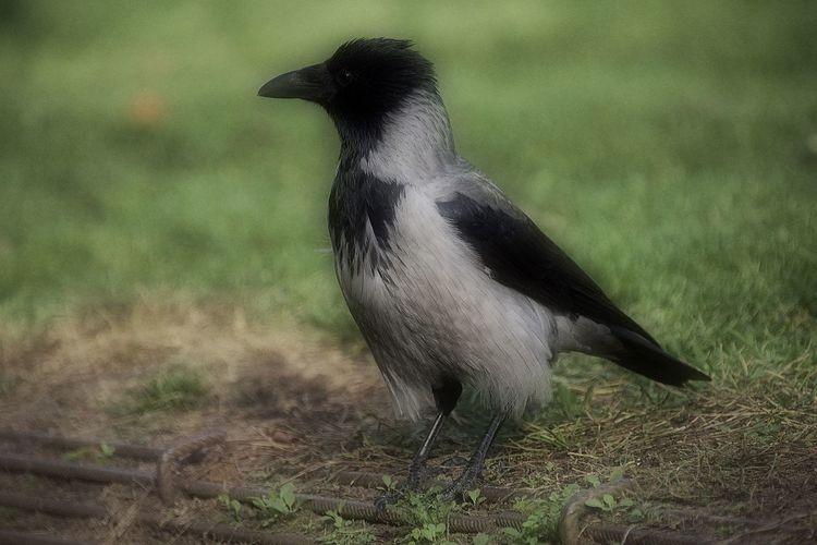 the crow 😎
