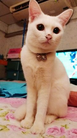 My lovely WieWie😘 Pets One Animal Looking At Camera Cat Cats Cat Lovers Cat Photography Caturday Catstagram Catlover Whitecat Whitecatphotography Whitecats Whitecatsofinstagram Pet Love Pet PortraitPet Lover Petslife Pet Catmania Catsociety Lovelycat Lovelycats Lovelycatsoninstagram No People