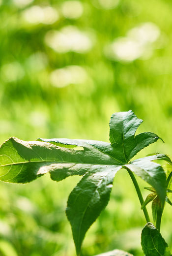 Bright Summertime Sunlight Beauty In Nature Bright Lit Close-up Day Field Focus On Foreground Food Food And Drink Freshness Green Color Growth Land Leaf Leaves Nature No People Outdoors Plant Plant Part Selective Focus Summer Sunlight Tranquility