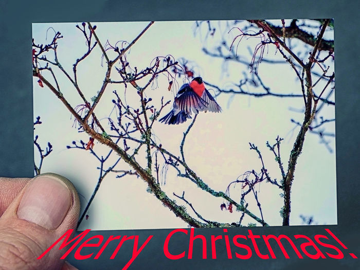 Christmas Bird Pyrrhula Pyrrhula Card Desing Finger Nature Peaceful Happy To All My Friends