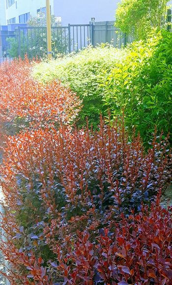 """ Colors Of Nature "" Red Color Green Color Arbustes Plant Sunlight Sunlight, Shades And Shadows Springtime"