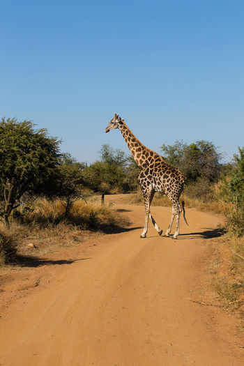 Giraffe standing by tree against clear blue sky